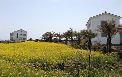千葉県と菜の花