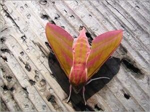 ピンク色の蛾